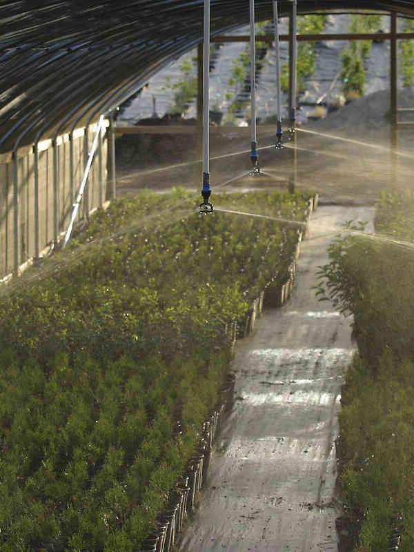 Nelson Irrigation's R10TG Rotator® sprinklers irrigating nursery stock in a hoop house