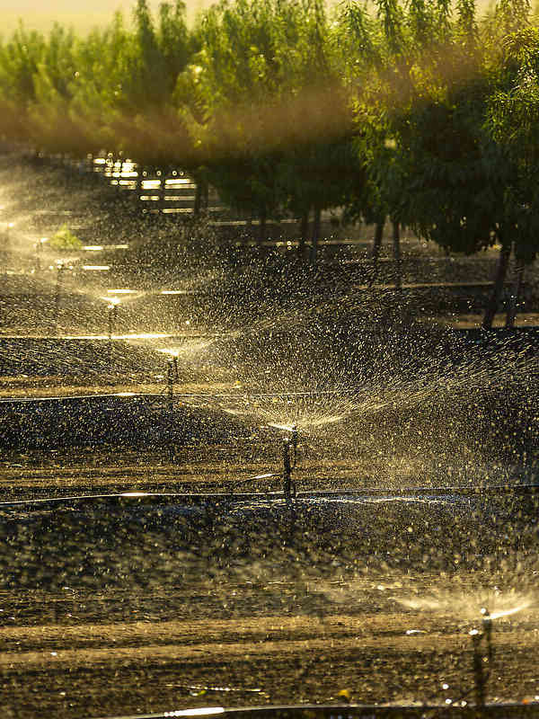 Nelson Irrigation's S7 Spinner irrigating almonds in California